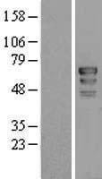 NBL1-08945 - PAF49 Lysate
