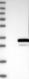 NBP1-86305 - PAFAH1B3