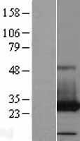 NBL1-14066 - PAFAH1B3 Lysate