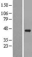 NBL1-14067 - PAFAH2 Lysate