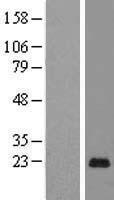 NBL1-14070 - PAGE5 Lysate