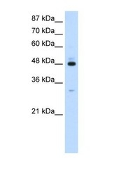 NBP1-57310 - PAIP1