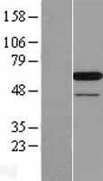 NBL1-14074 - PAIP1 Lysate