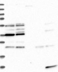 NBP1-90029 - WDR84 / PIP1
