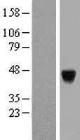 NBL1-14079 - PAK1 interacting protein 1 Lysate