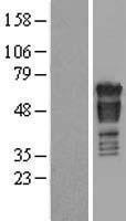 NBL1-14080 - PAK4 Lysate