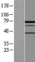 NBL1-14089 - PALMD Lysate