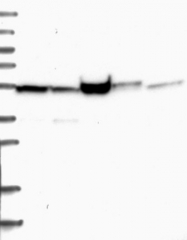 NBP1-80937 - RASSF9 / PAMCI