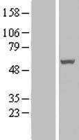 NBL1-15181 - PAMCI Lysate