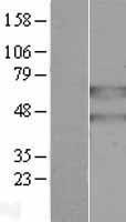 NBL1-14091 - PANK2 Lysate