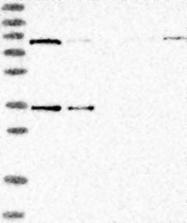NBP1-83832 - PANK4