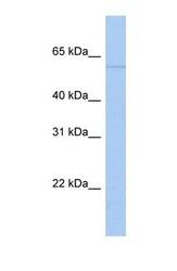 NBP1-53057 - PAPD4 / GLD2