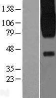 NBL1-10409 - PAR2 Lysate