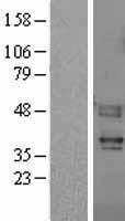 NBL1-10411 - PAR4 Lysate