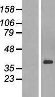 NBL1-14102 - PAR6 Lysate