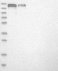 NBP1-88861 - PARD3 / PAR3