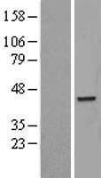 NBL1-14103 - PARD6B Lysate
