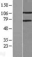 NBL1-14104 - PARG Lysate
