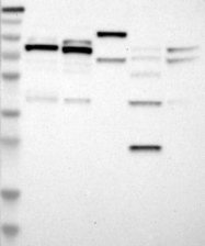 NBP1-84302 - PARN