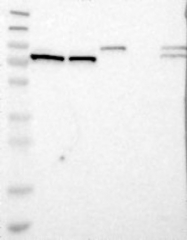 NBP1-84303 - PARN