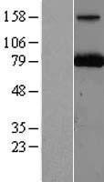 NBL1-14109 - PARN Lysate