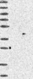 NBP1-88394 - PARP11