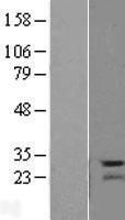 NBL1-14112 - PARP11 Lysate