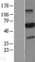 NBL1-14116 - PARP3 Lysate