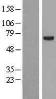 NBL1-14117 - PARP3 Lysate