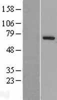 NBL1-14118 - PARP6 Lysate