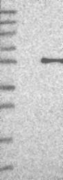 NBP1-89436 - PAX8
