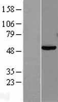 NBL1-14132 - PAX8 Lysate