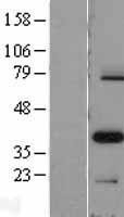 NBL1-14133 - PAX9 Lysate