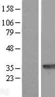 NBL1-14136 - PBLD Lysate