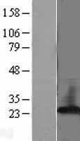 NBL1-14274 - PBP Lysate
