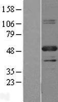 NBL1-14137 - PBX1 Lysate