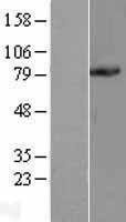 NBL1-14188 - PC1/3 Lysate