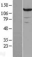 NBL1-14138 - PCB Lysate