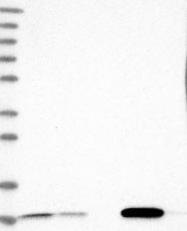 NBP1-84297 - PCBD1