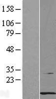 NBL1-14140 - PCBD1 Lysate