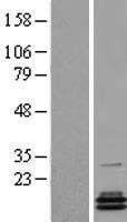 NBL1-14141 - PCBD2 Lysate