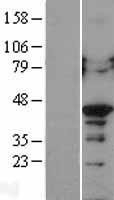 NBL1-14143 - PCBP2 Lysate