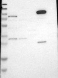 NBP1-81400 - PCDH18