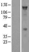 NBL1-14152 - PCDH7 Lysate