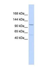 NBP1-59228 - PCDH8