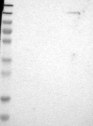 NBP1-86073 - PCDH9
