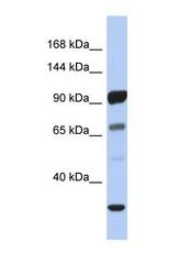 NBP1-59258 - PCDHA10