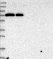 NBP1-87323 - PCDHA3