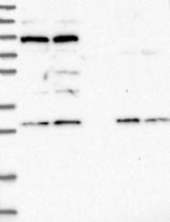 NBP1-85523 - PCDHA4