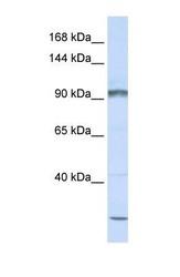 NBP1-59215 - PCDHAC2